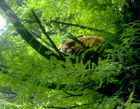Red Panda Sleeping in a Tree