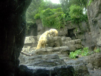 Polar Bears in the Central Park Zoo
